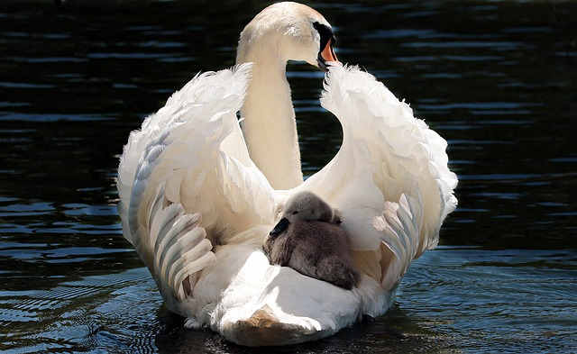 Mutterliebe, ein Schwan mit dem Küken zwischen den Flügeln, um es zu beschützen.