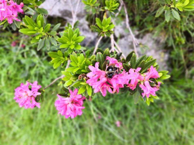 Alpenrosen blühen auch noch Anfangs August